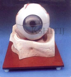 Eye Model on Bony Base, Eye Model on Bony Base Manufacturer, Eye Model on Bony Base Exporter, Eye Model on Bony Base Supplier, Eye Model on Bony Base India, Eye Model on Bony Base Ambala, Eye Model on Bony Base Indian, Kshitij Innovation