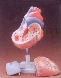 Human Heart 3 Parts, Human Heart 3 Parts Manufacturer, Human Heart 3 Parts Exporter, Human Heart 3 Parts Supplier, Human Heart 3 Parts India, Human Heart 3 Parts Ambala, Human Heart 3 Parts Indian, Kshitij Innovation